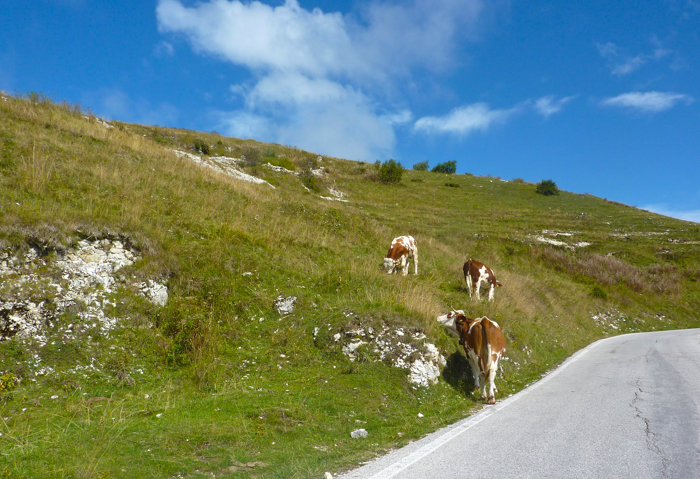 cows grazing regional foods culinary tours italy