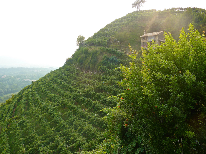vineyards prosecco italy