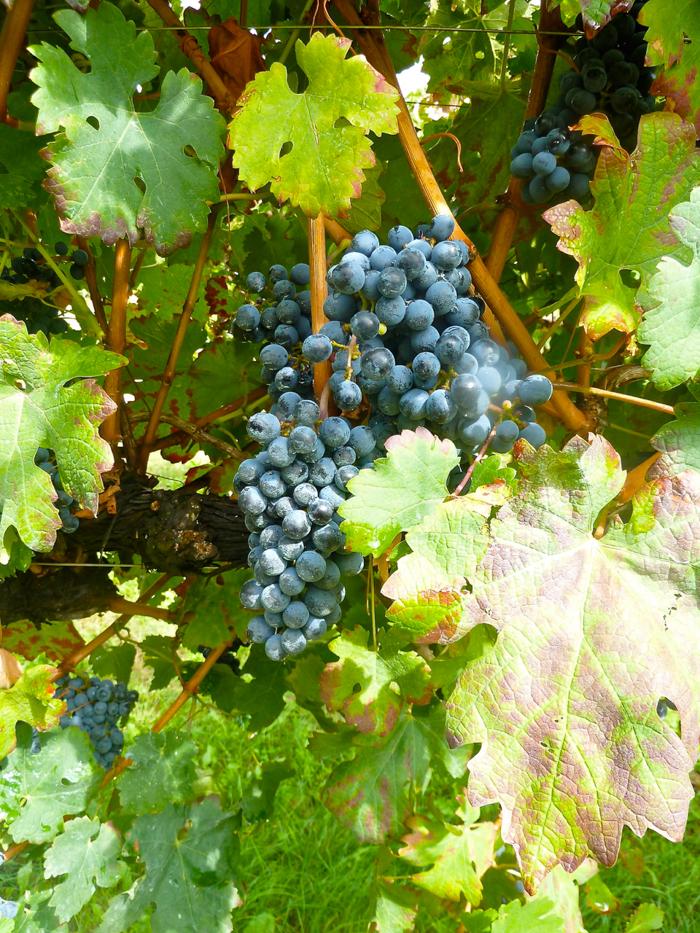 grapes italy wine tours private ski bike
